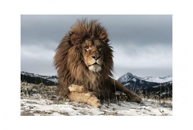 PANTHERA - Glastavla lejon