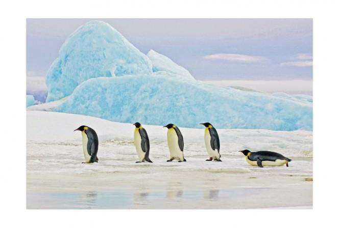 AVON - 120x80cm Glastavla Pingviner