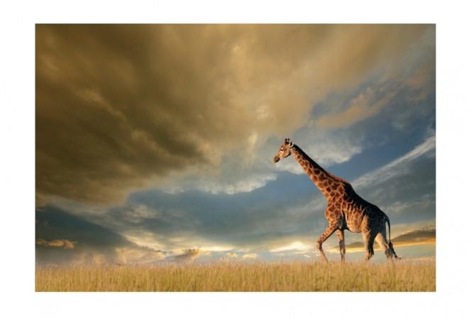 ELARA - 120x80cm Glastavla Giraff